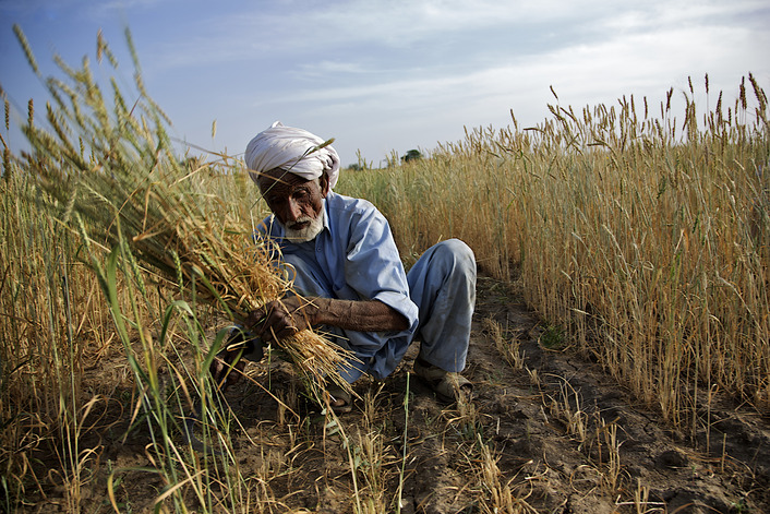 Wheat Harvest Begins In Pakistan
